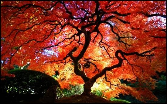 Japanese-Maple-Tree