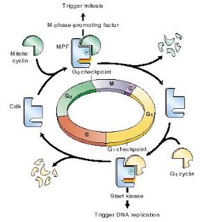 Kontrol pada fase G1 (G1 checkpoint ), Kontrol pada fase G2 (G2 checkpoint ), Kontrol pada fase M (M checkpoint)