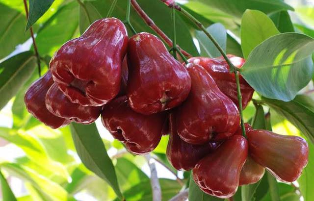 buah jambu air indonesia yang disukai bule