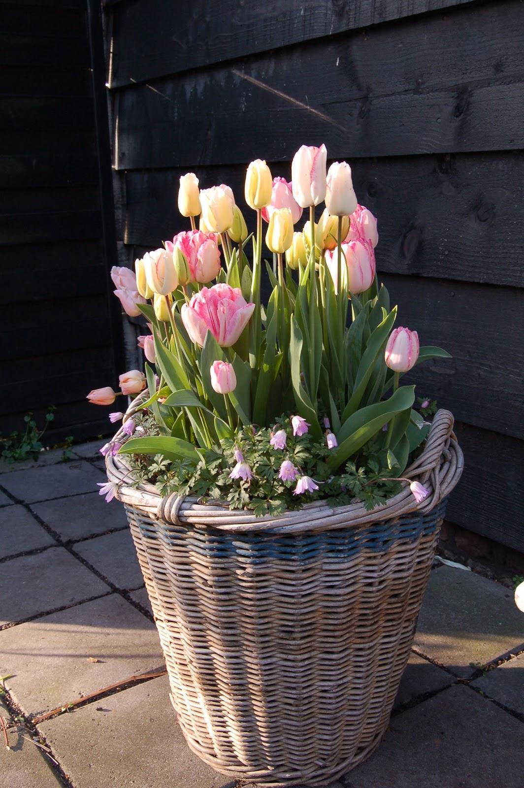 Tulpen Nhen