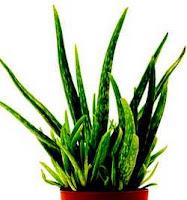 Top 15 Most Powerful Medicinal Plants- Aloe Vera is a miracle medicinal plant.