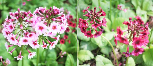 fuji flower