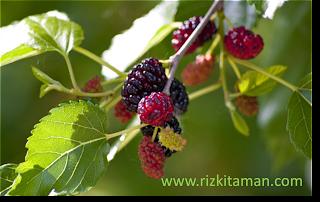 Pohon Buah murbey atau mulberry (Morus alba) | suplier tanaman |  tanaman buah | tanaman bermanfaat