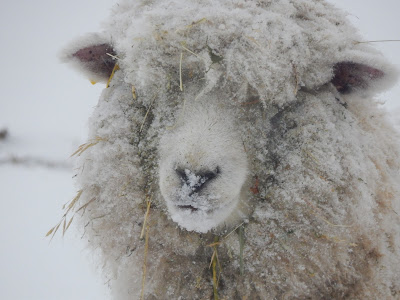 Pasture Happenings in the New Year, shared by Mitten State Sheep and Wool at The Chicken Chick's Clever Chicks Blog Hop