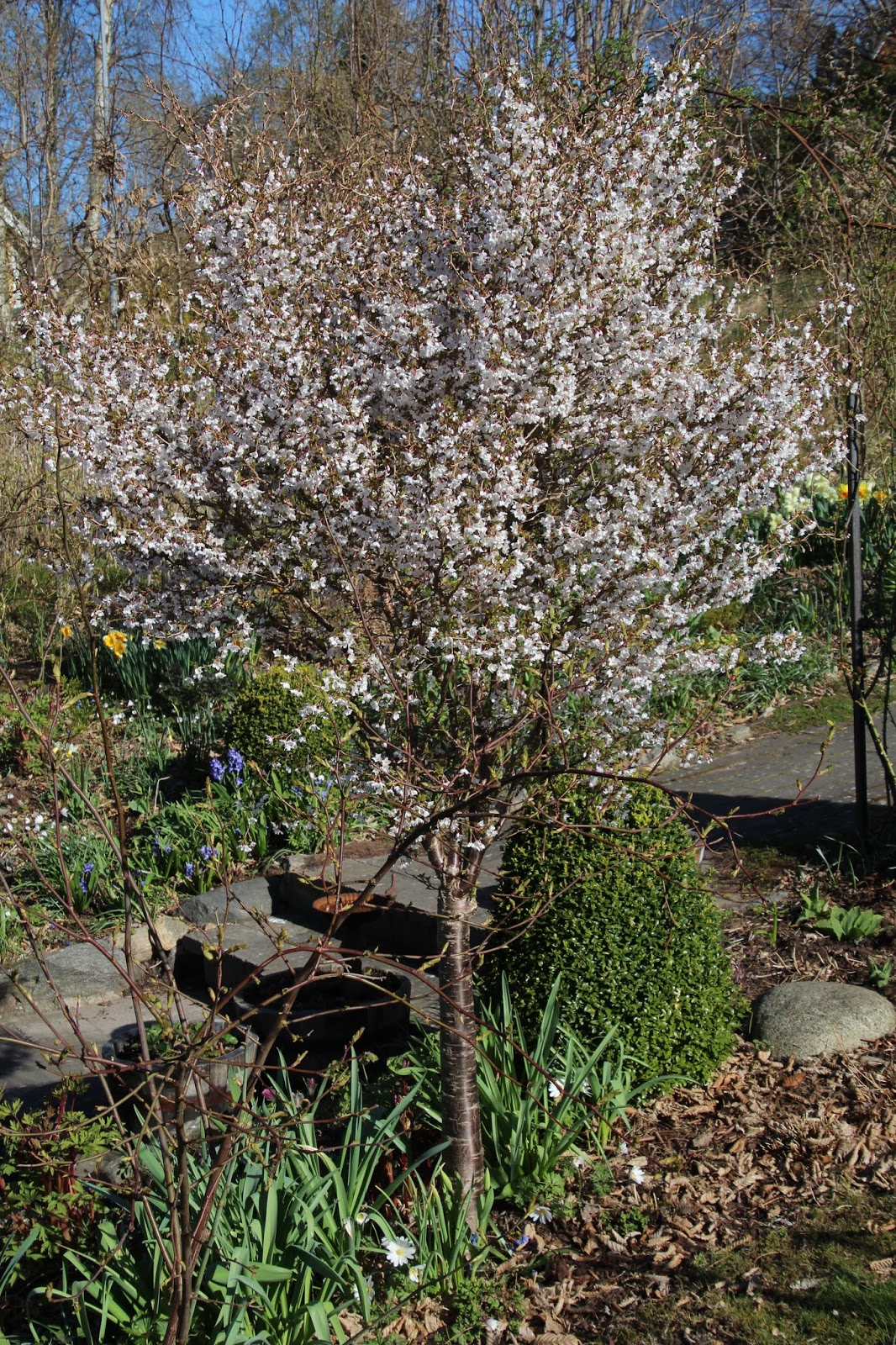 Stamkörsbär Prunus Kojou-No-Mai
