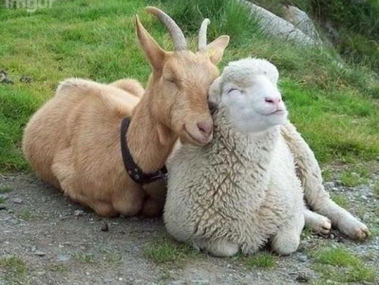 http://3.bp.blogspot.com/-7x6wRINhx3M/VMcyHFEeq_I/AAAAAAAAM-k/fno-3AqRGKU/s1600/goat-and-sheep-friends.png