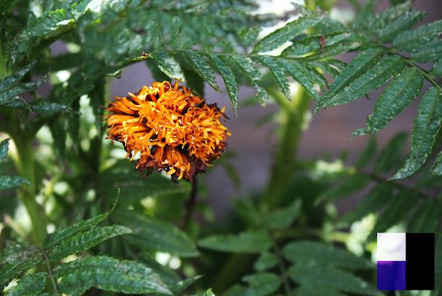 Flores (Placcido)