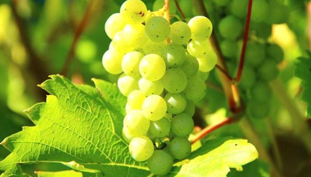 Gambar Buah Anggur Hijau