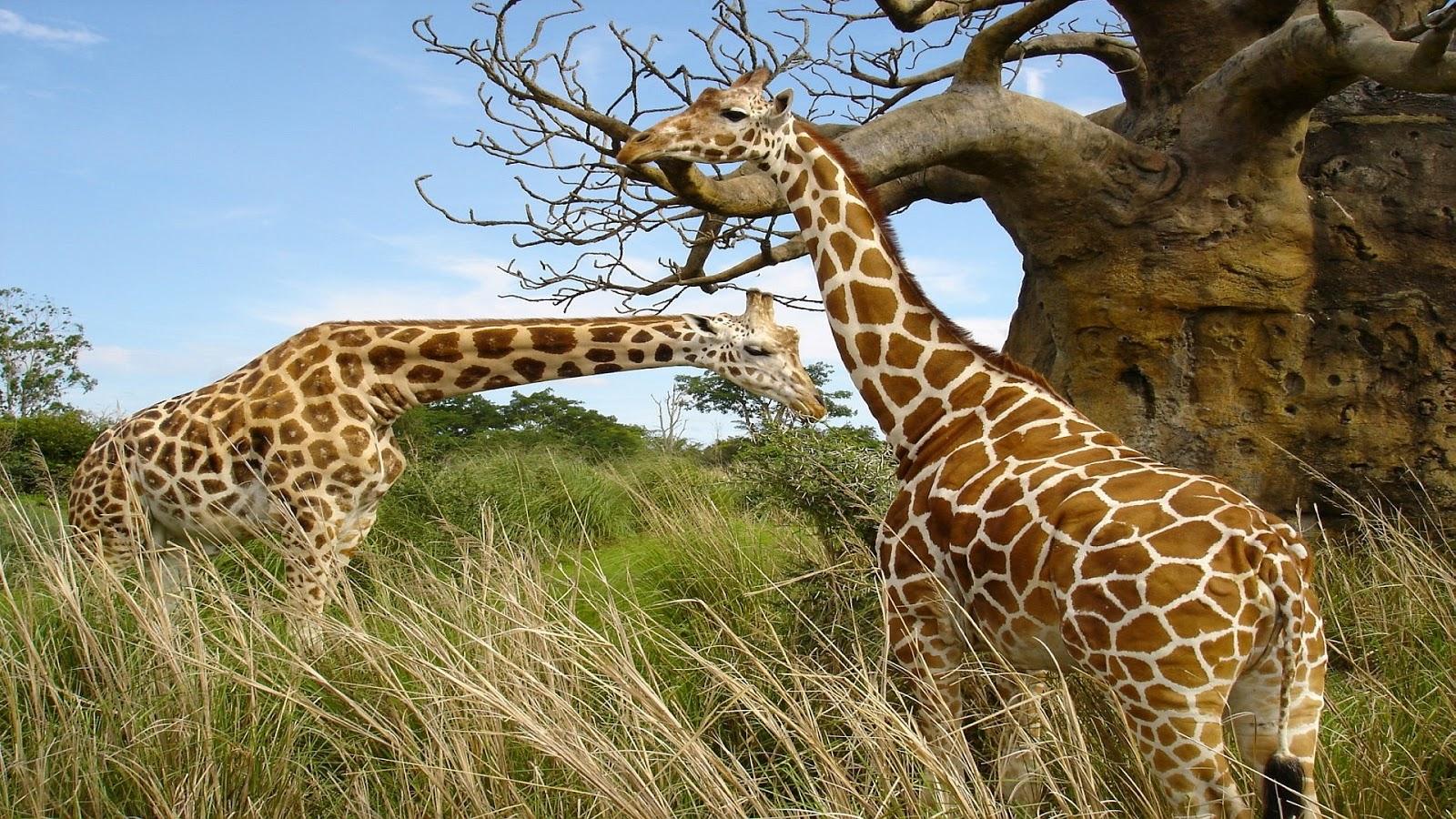wild animal animals wallpapers animales baby salvajes nature wildlife bing giraffe amazing cool 1080p