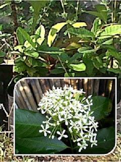 Tanaman Bunga Soka Putih