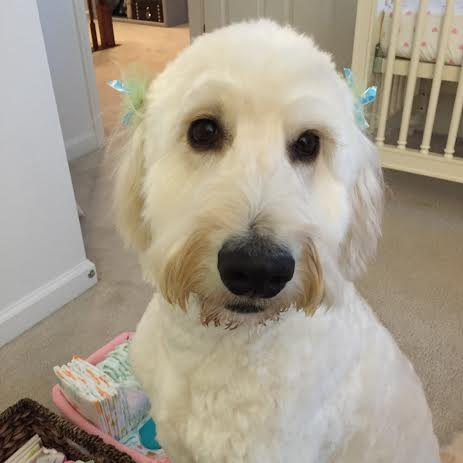 goldendoodle spa day