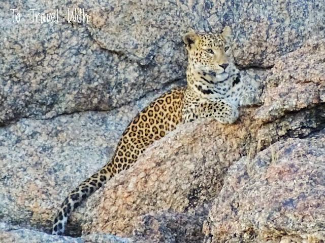Leopard sighting in Bera Rajasthan