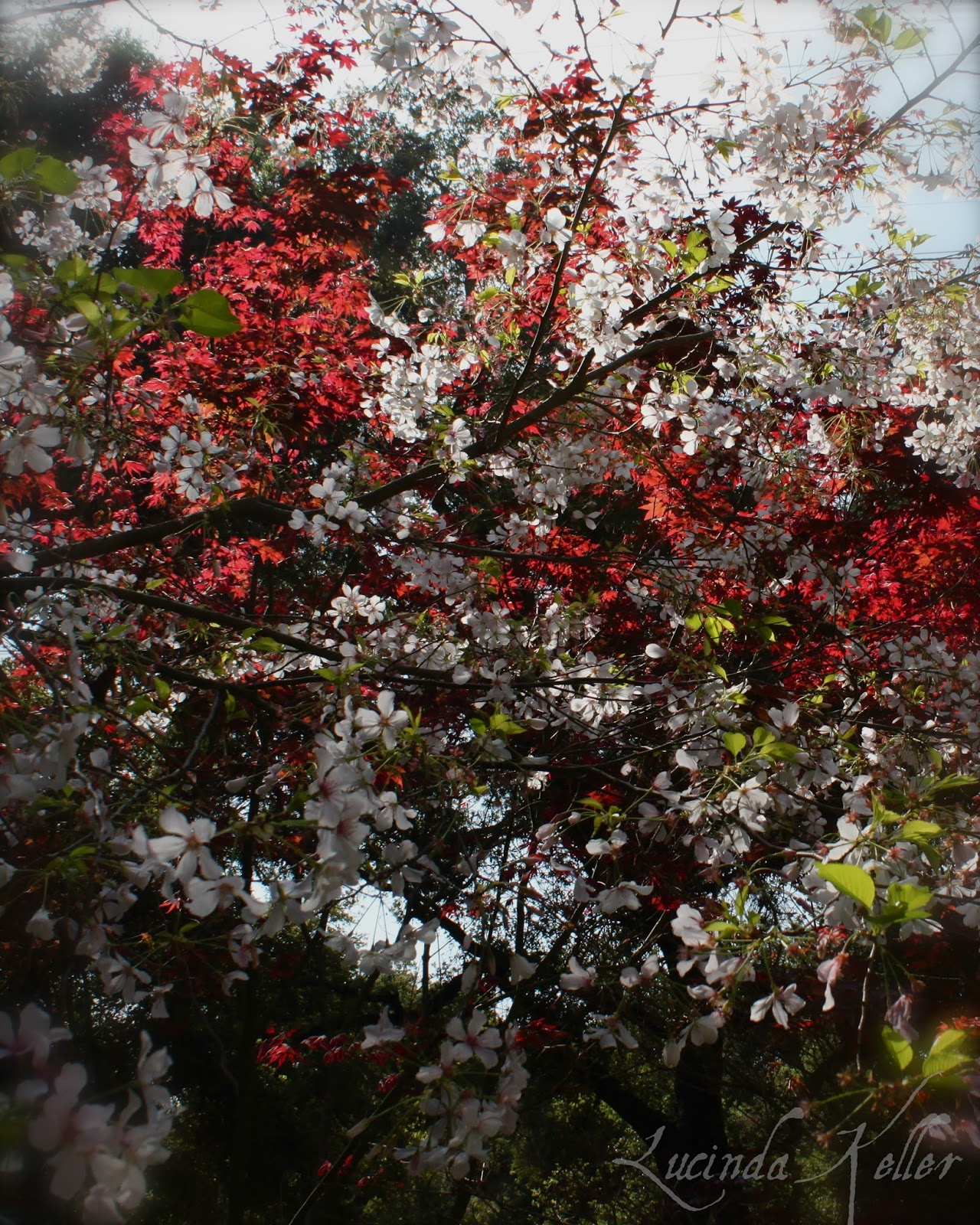 Cobalt Violet: Japanese Gardens And Lilacs In Bloom