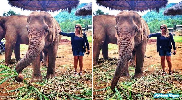Carinho no elefante Elephant Nature Park