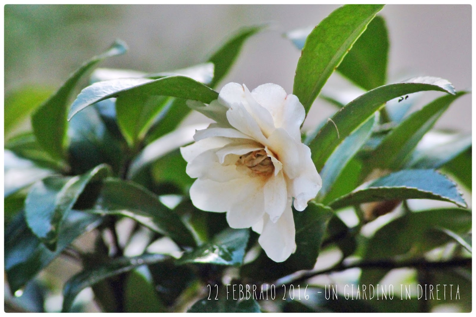 Fiori di febbraio camelia sasanqua un giardino in diretta - Fiori di giardino ...