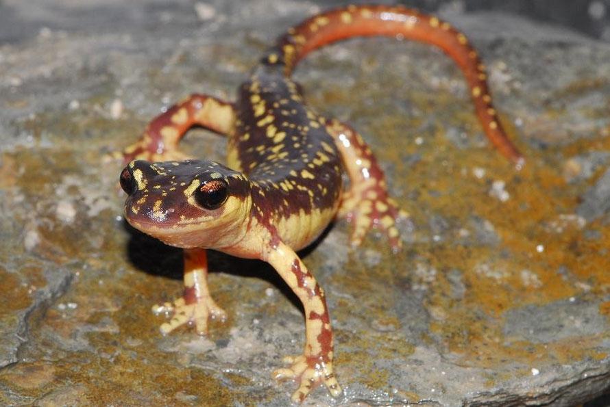 Amphibians: Helversen's Salamander - Lyciasalamandra helverseni