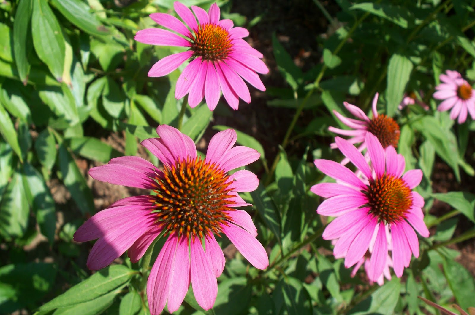 Garden Beauty Purple Coneflower Echinacea