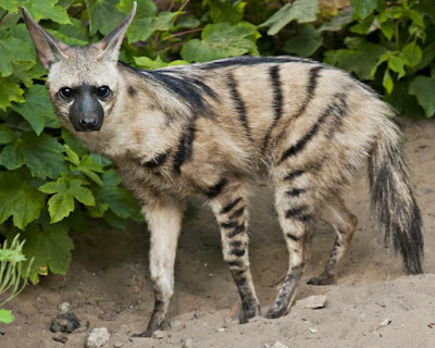 Aardwolf - Animals Starting With A