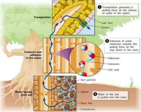 Pengangkutan Air pada Tumbuhan