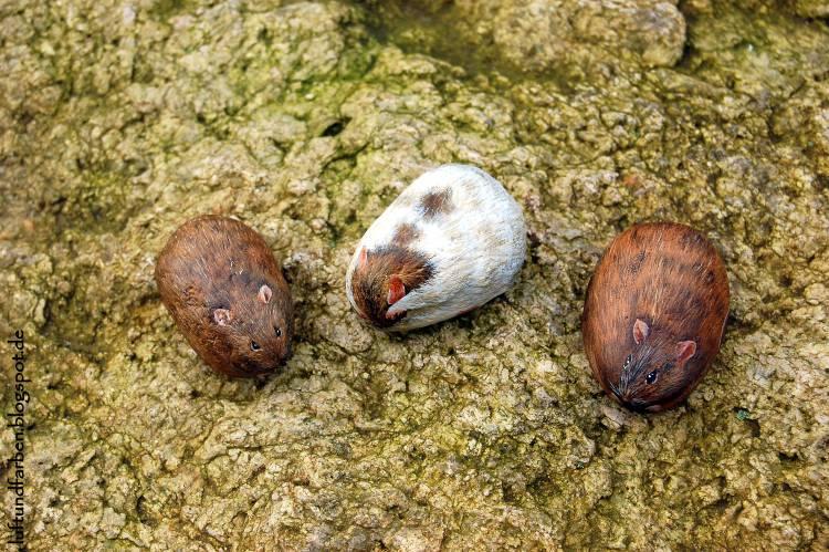 Waschende Ratte