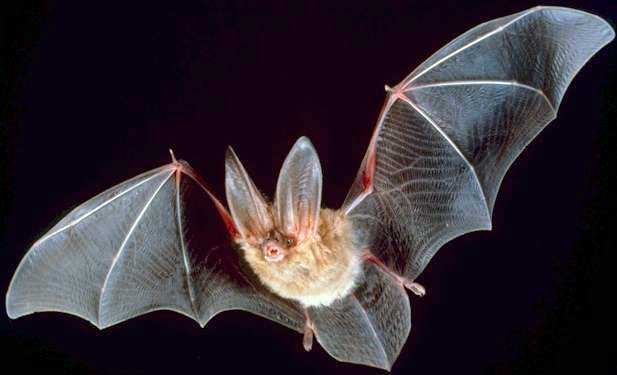 big ear bat
