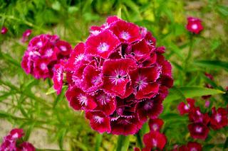 Goździk brodaty- Dianthus barbatus
