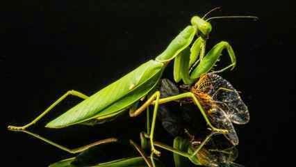 Praying Mantis Facts - Nature's Perfect Predators
