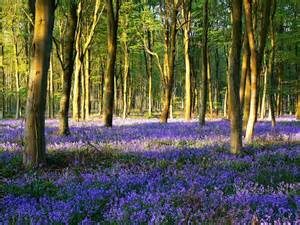 Woodland filled with bluebells