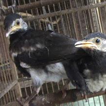 Cara Membuat Burung Jalak Suren Terbiasa Dengan Berbagai Jenis Pakan