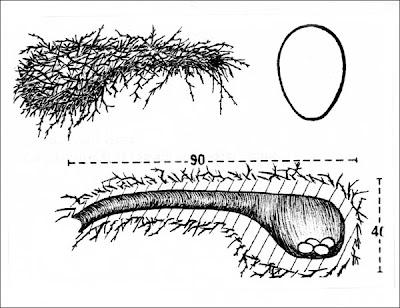 Cacholote castaño Pseudoseisura lophotes
