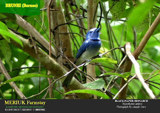 Black-Naped Monarch in Brunei