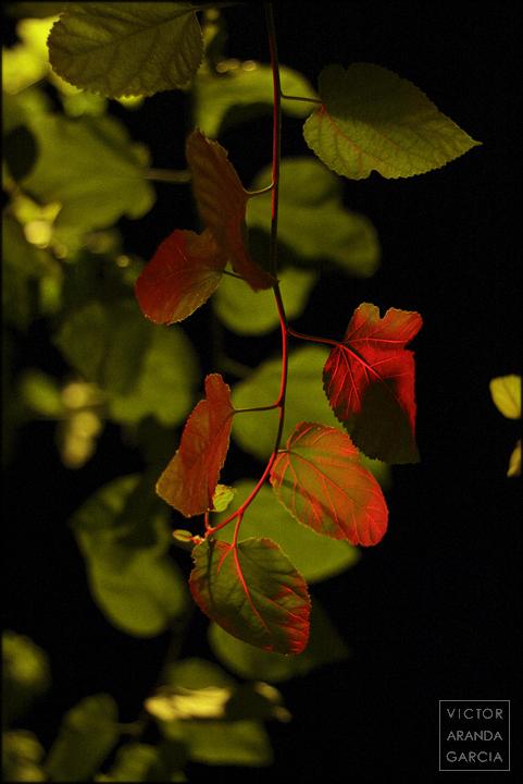 naturaleza,semáforo,morera,hojas,árbol,murcia,serie,arte