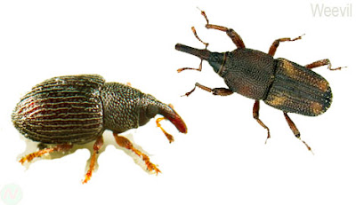 Weevil, Weevil insect,