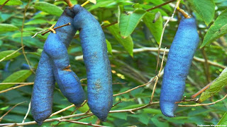 Dead Man's fingers fruit images wallpaper