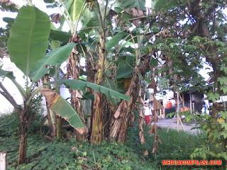 pohon pisang