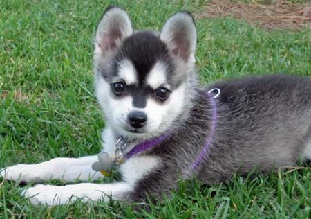 Alaskan Klee Kai Dog Information | Fun Animals Wiki ...