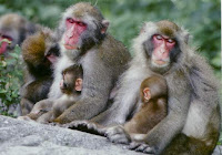 Familia de macacos