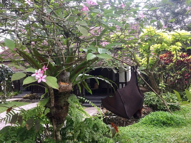 Fruit bat in Kalibaru, East Java, Indonesia