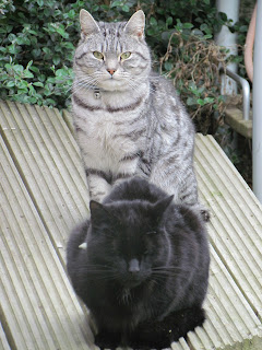 Black cat and Silver tabby