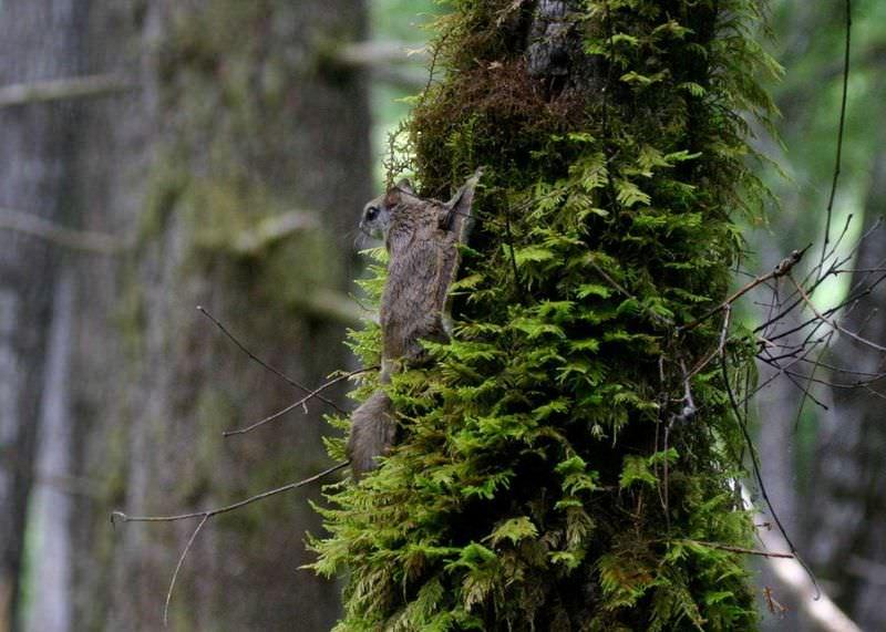 esquilo-voador