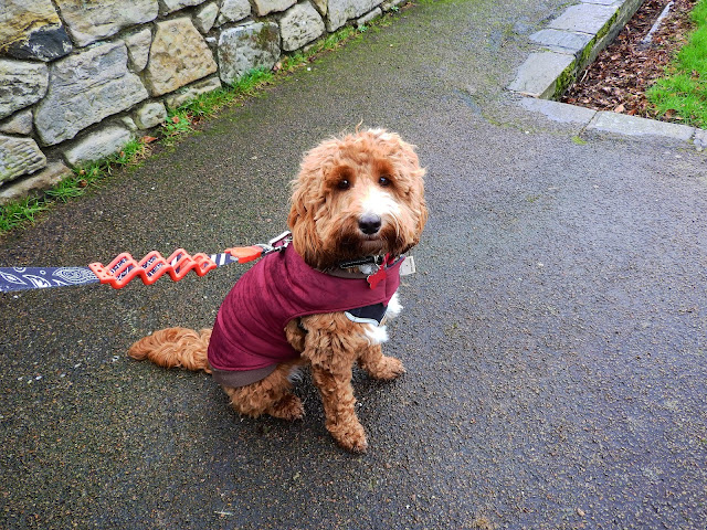 Red and white cockapoo puppy sat on pavement wearing burgundy coat