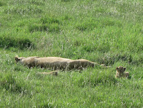 Sleeping lioness engorged on water buffalo, with cubs (Ngorongoro Crater)