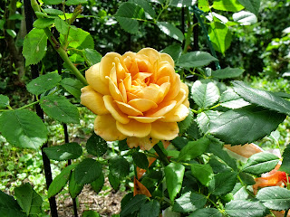"englische Rose ""golden Celebration"" von David Austin (c) by Joachim Wenk"
