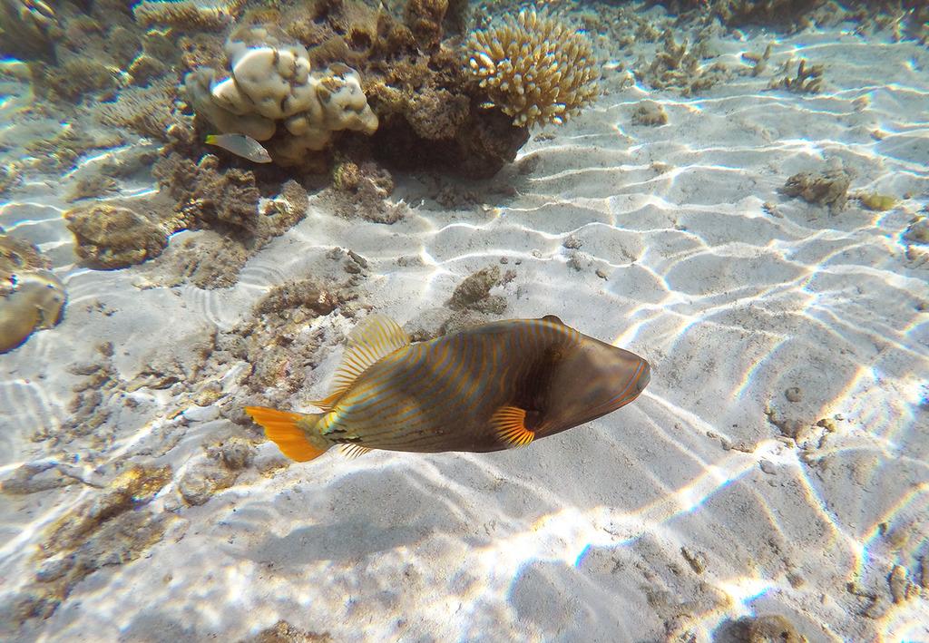 Euriental | fashion & luxury travel | Conrad Maldives, house reef, triggerfish