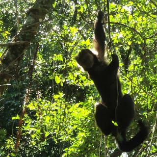 Macaco no Parque da Ferradura, em Canela