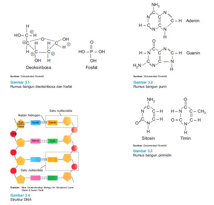 DNA; Pengertian, Struktur, Replikasi dan Fungsinya