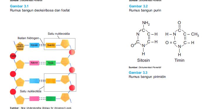 DNA; Pengertian, Struktur, Replikasi dan Fungsinya ...