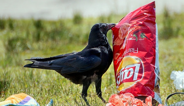 junk food berupa snack sedang dimakan seekor gagak