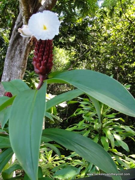 kava plant at Kula Eco Park in Fiji