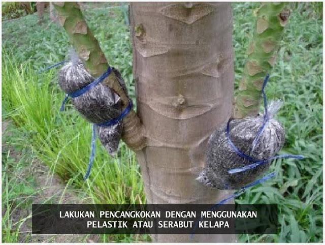 budidaya pepaya dengan cara mencangkok, cara agar pohon pepaya cepat berbuah, Cara mencangkok pohon pepaya, menanam pepaya degan mencangkok, pepaya pendek sudah berbuah, Tanaman Buah,